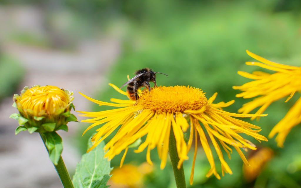 bumblebee-3980677_1920